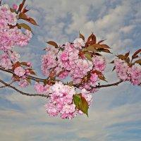 """""""Вишен цветы Будто с небес упали ..."""" :: Galina Dzubina"""