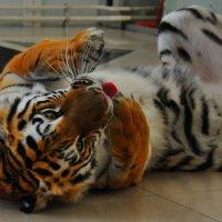 Амурский тигр :: Алексей http://fotokto.ru/id148151Морозов