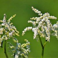 Цветы у реки :: Сергей Чиняев