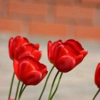 Красные тюльпаны. :: Ирина Королева