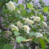 Один раз в год сады цветут....... :: Лена