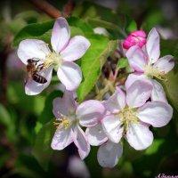 Весны цветение :: Андрей Заломленков