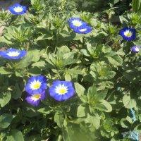 Голубая петуния :: Надежда Малинкина