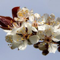 Слива с коричневыми листьями :: Вячеслав Минаев
