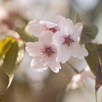 Цветение сакуры :: AllaSaa