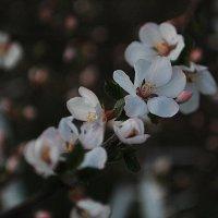 Ветка войлочной вишни :: Николай Масляев