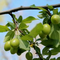 плоды черешни в мае :: elena manas