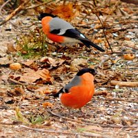 снегирчики :: linnud
