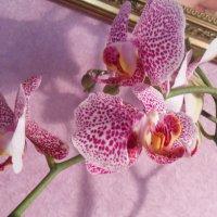 Орхидея :: Фото Яника