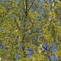 Майская листва :: Aнна Зарубина