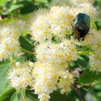 Бронзовка, дальний родственник майского жука. :: Валентина ツ ღ✿ღ