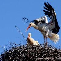 ухаживания :: linnud