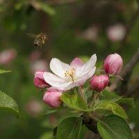 Цветок яблони :: shabof