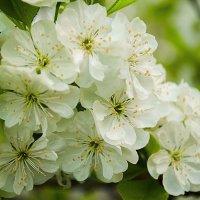 Деревья цветут :: Марина