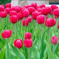 Тюльпаны :: Вик Токарев