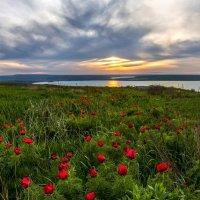 Навстречу закату, или цветут пионы :: Фёдор. Лашков