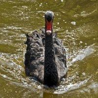 Black Swan :: Roman Ilnytskyi