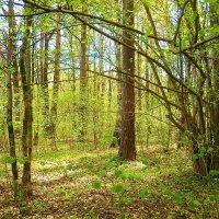 Весенний лес :: Маргарита Батырева