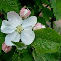 Яблони цвет :: °•●Елена●•° Аникина♀