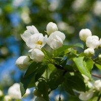 Яблони в цвету :: Albina