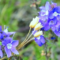 Горные цветы :: Виктор Шандыбин