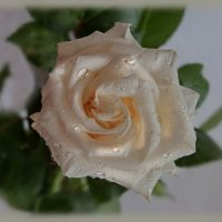 Белые розы...красавицы розы.... :: Людмила Богданова (Скачко)