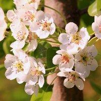 Весны душистое круженье :: Татьяна Ломтева