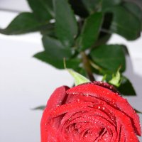 Роза. :: Вероника