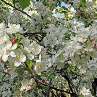Яблони в цвету,какое чудо!!! :: СветЛана D