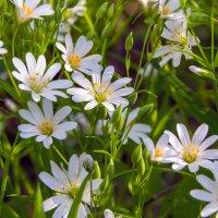 Белые весенние цветы :: Юрий Стародубцев