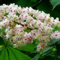 Цветок каштана... :: Тамара (st.tamara)