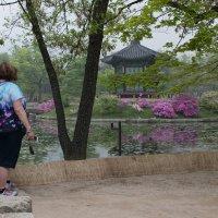 розовое цветение в Сеуле :: Sofia Rakitskaia