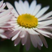 Сиянье солнца - лепестки :: Swetlana V