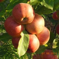 яблоки на Кубани :: игорь