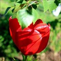 Тюльпан под березой :: Татьяна Пальчикова