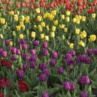 Тюльпаны в Царицыно :: Михаил Тищенко