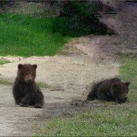 Медвежата :: °•●Елена●•° Аникина♀