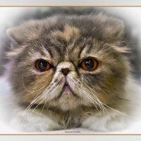 Перс-из серии Кошки очарование мое! :: Shmual Hava Retro