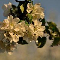 Время цветения яблонь... :: Юрий Анипов