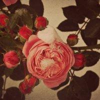 Розы под снегом :: Дарья Ивановская(Шолина)