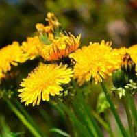 Ярко-желтая весна :: Милешкин Владимир Алексеевич