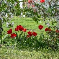 Цветут тюльпаны и вишня :: Игорь Сикорский