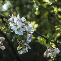 Яблони цветут :: Елена Пономарева