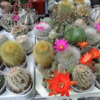 Цветущие кактусы-одуванчики... :: Алекс Аро Аро