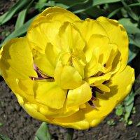 желтые тюльпаны..... :: Надежда