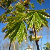 Клен зеленый, лист резной :: veera (veerra)