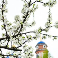 Цветы весны :: Олеся Семенова