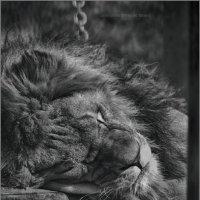 Львинный сладкий сон :: Татьяна Кретова