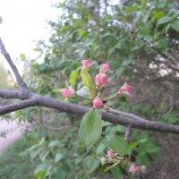 Яблонька весной... :: BoxerMak Mak