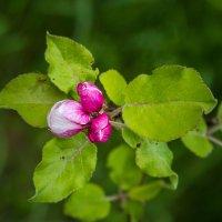 IMG_2209 цветы яблони :: Олег Петрушин